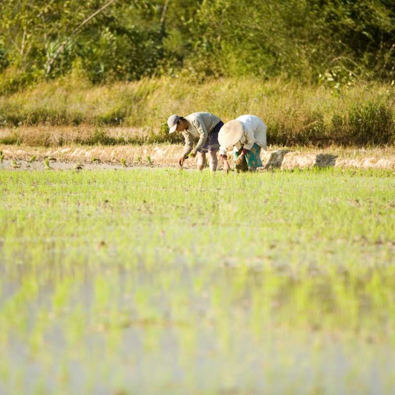 rice-planting-and-discipelship