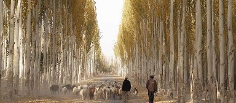 Weg met schapen en herders